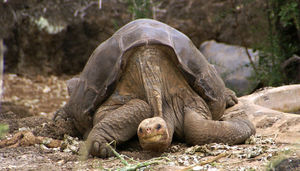 800pxlonesome_george_pinta_giant_to
